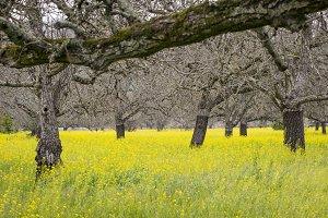 Walnut orchard, springtime