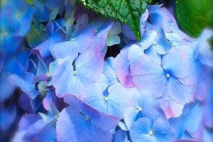 Blue Hydrangea Botanical Photograph