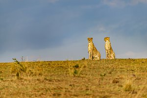 Two Cheetahs - Sitting like statues
