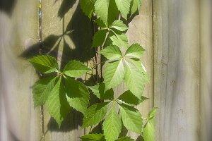 Vines on Wood Fence Rustic Nature