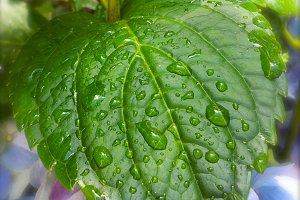 Dew on Hydrangea Leaf Nature Photo