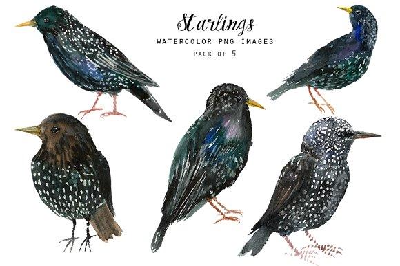 Watercolor Birds Clipart Starlings
