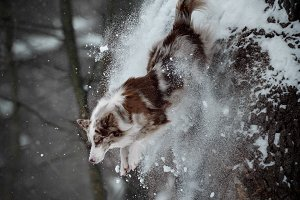 border collie jumps from the tree