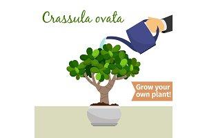 Hand watering crassula ovata plant