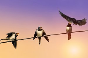 funny birds swallows on wires
