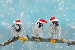 три птицы в колпаках рождественских