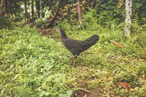 Black chicken outside. Tropical island of Bali, Indonesia.