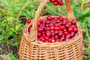 Fresh cranberries in a  basket the forest
