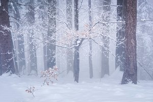 Winter in the foggy forest