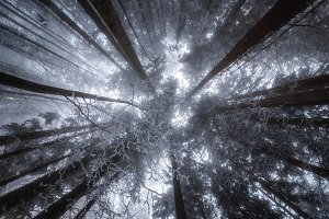 Look up in the winter forest