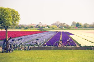 Cycling tour to blooming tulips fiel