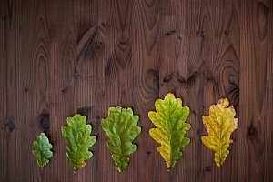 Line of oak leaves