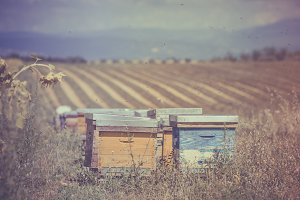 Beehives on the field
