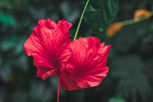Close up of hibiscus flower in the jungle. Bali island.