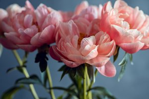 Beautiful pink peonies, flowers