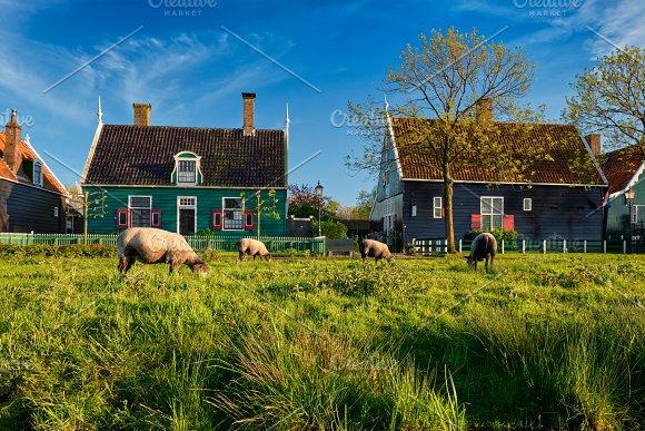Sheeps Grazing Near Farm Houses In The Museum Village Of Zaanse