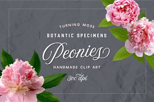 Peonies - Botanic Specimens