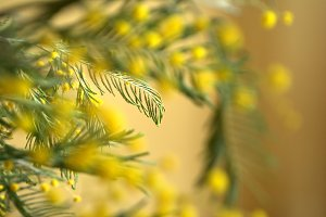 mimosa background