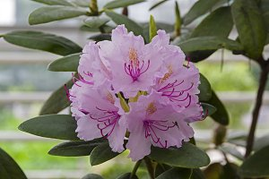 Rhododendron of the Karlis species.
