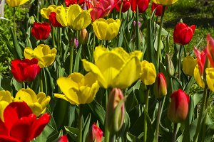 Red and yellow tulips on a flowerbed