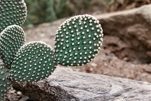 Green Prickly Pear Cactus
