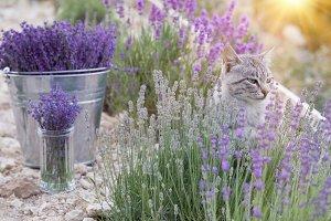 Wild cat in lavender.
