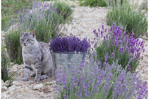Wild cat in lavender field.