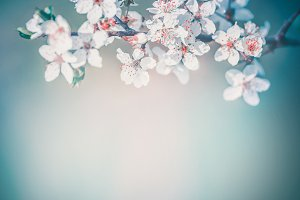 Cherry spring blossom background
