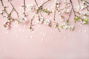 Spring almond blossom flowers and petals over light pink background