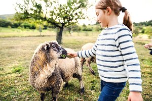 A small girl feeding sheep on the farm.