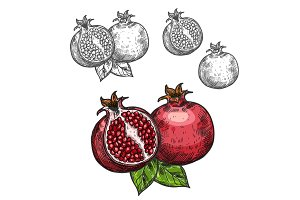 Pomegranate vector sketch fruit cut section icon