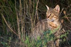 Iberian wildcat in the bushes