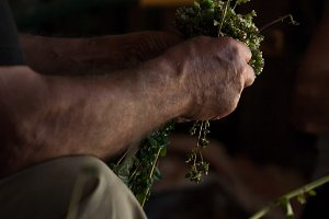 farmer cutting sprigs of oregano