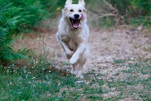 Golden retriever running.
