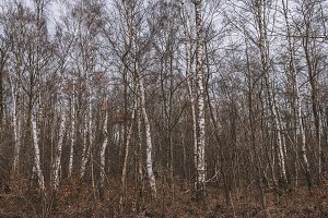 Birch Tree Forest in Autumn