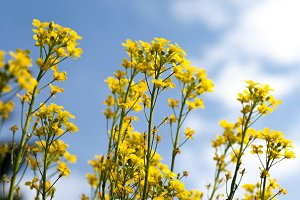 Canola, yellow Rapeseed flowers