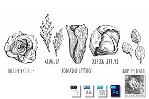 Lettuce types hand drawn