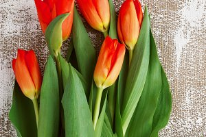 Red-yellow tulips on a light background. Spring - poster with free text space