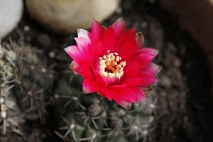 Red flower in a cactus
