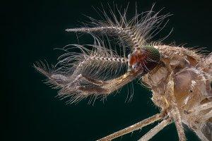 Male mosquito portrait