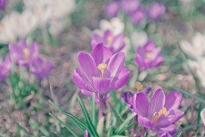 Flowers Crocuses Violet Close-up