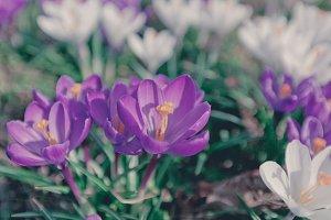 Flowers Crocuses