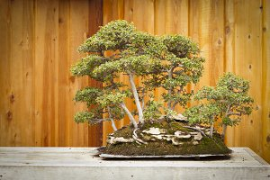 Beautiful Elm Bonsai Tree Forest
