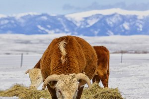 Vertical-Hereford Bull and Snow