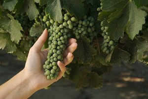 Hand Holding Grapes, Leaves & Vines