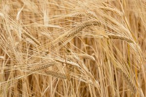 Agriculture nature background of wheat grain plant