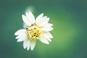 Small white flower, Thailand flora