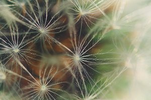 extreme close-up of dandelion