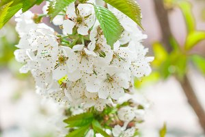 Flowers of the cherry blossoms