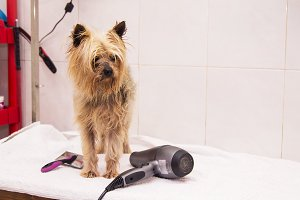 dog at the dog hairdresser, cutting